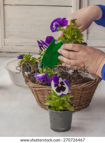Female hands transplanted seedlings of pansies in a decorative basket - stock photo