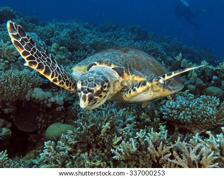 Female hawksbill turtle looking for food - stock photo
