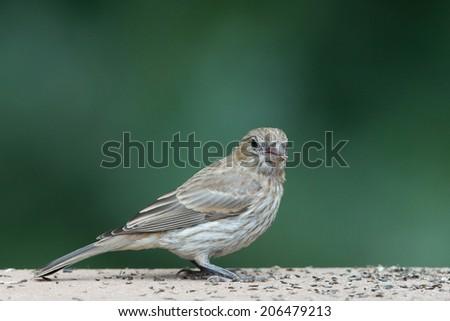 Female house finch  - stock photo