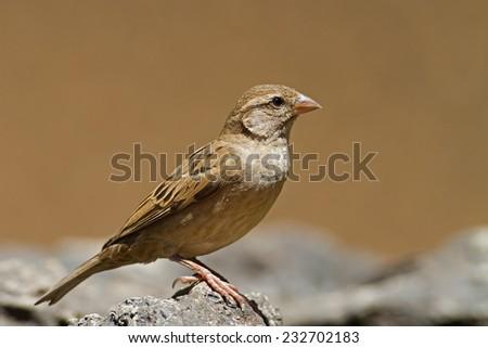 Female House Sparrow; Passer domesticus - stock photo