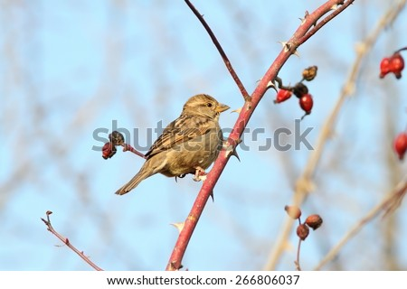 female house sparrow perched on twig ( Passer domesticus ) - stock photo