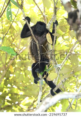 female howler monkey resting in tree, corcovado national park, costa rica - stock photo
