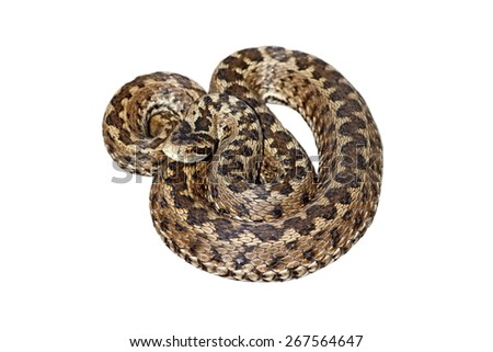 female hungarian meadow viper ( Vipera ursinii rakosiensis ) isolated over white background - stock photo