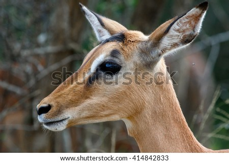 Female Impala (Aepyceros melampus) like this one in Hluhluwe Game Reserve live in breeding herds with their young. - stock photo
