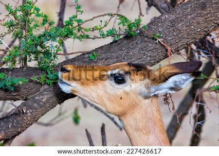 Female impala antelope in Kruger National Park, South Africa - stock photo