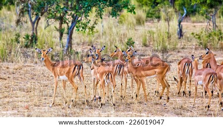 Female impala antelopes in Kruger National Park, South Africa - stock photo
