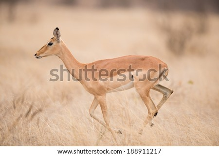 Female Impala in Kruger National Park, South Africa - stock photo