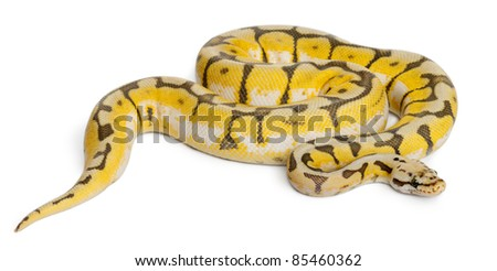 Female Killerbee Royal python, ball python, Python regius, 1 year old, in front of white background - stock photo