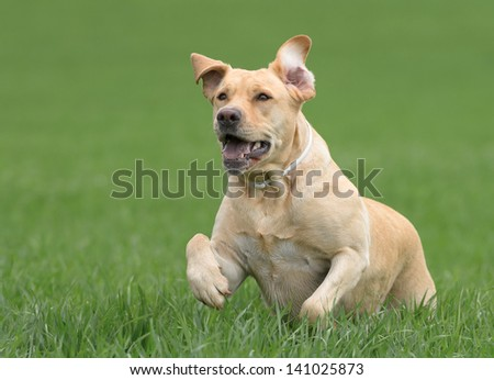 Female Labrador Dog - stock photo
