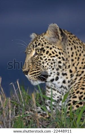 female leopard - stock photo