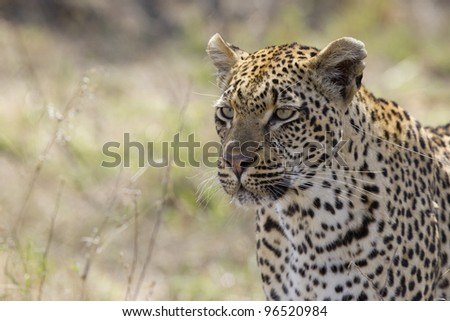 Female Leopard (Panthera pardus), Kruger Park, South Africa - stock photo