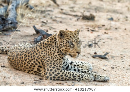 Female leopard with tracking collar resting in Okonjima Nature Reserve, Namibia. Shallow depth of field. - stock photo