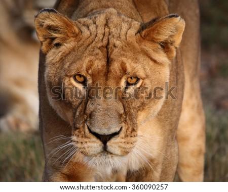 Female lion closeup - Gauteng, South Africa - stock photo