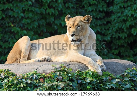 Female lion enjoys the morning sun at the Lincoln Park Zoo in Chicago - stock photo