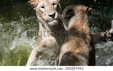 Female lion fight - stock photo