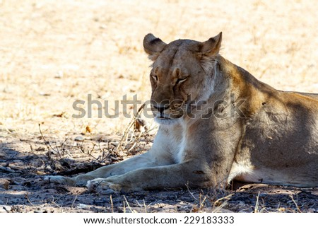 Female Lion Lying and resting in Grass in shade of tree. Kgalagadi Transfrontier Park, Botswana, true wildlife - stock photo