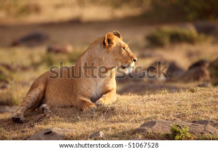 Female lion, Masai mara, Kenya - stock photo