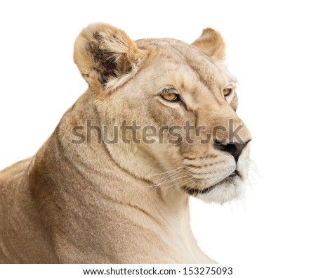 Female lion portrait, isolated on white background with copy space. - stock photo