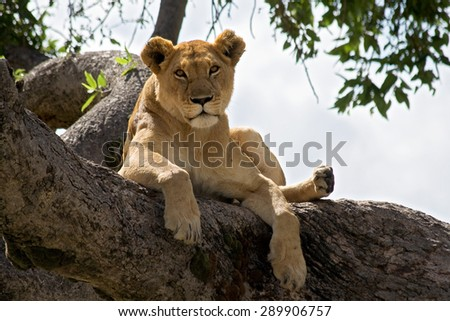 Female Lion resting on a branch in a tree watching the surroundings. - stock photo