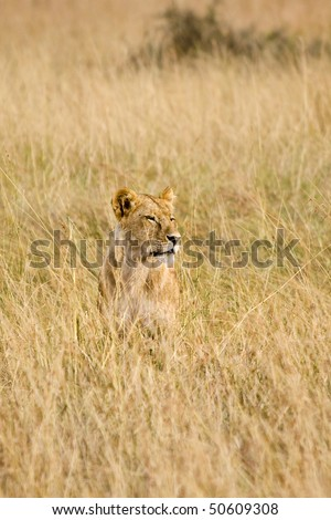 Female lion sitting in tall grass of the plains in Africa. - stock photo