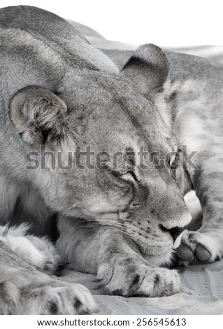 Female Lion Snoozing in the Kgalagadi Transfrontier Park - stock photo