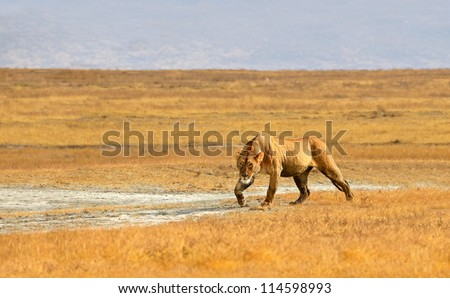 Female Lion Walking and getting ready for hunt in dry Grasslands of Ngorongoro crater near Serengeti National Park - stock photo