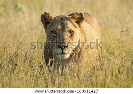 Female Lion walking in the African savanna - stock photo