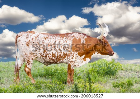 Female Longhorn cow grazing in a Texas pasture - stock photo