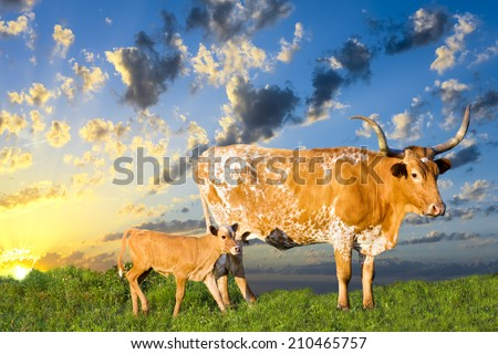 Female Longhorn cow grazing in a Texas pasture at sunrise with her newborn calf - stock photo