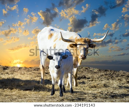Female Longhorn cow grazing in a Texas pasture at sunrise with her young calf - stock photo