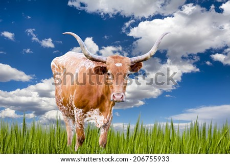 Female Longhorn cow  in a Texas pasture - stock photo