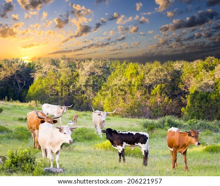 Female Longhorn cows grazing in a Texas pasture at sunrise with newborn calves - stock photo