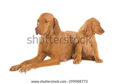 Female Magyar Vizsla dog with her pup, isolated on white - stock photo