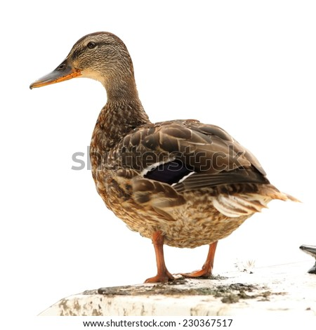 female mallard duck ( Anas platyrhynchos ) standing on a boat, isolation over white background - stock photo