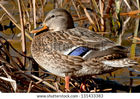 Female Mallard standing in a marsh. - stock photo