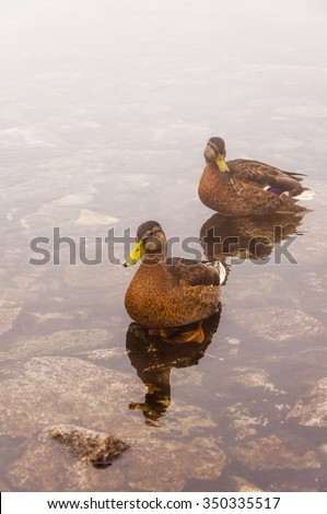 Female Mallard (Wild Duck, Anas Platyrhynchos)  - stock photo