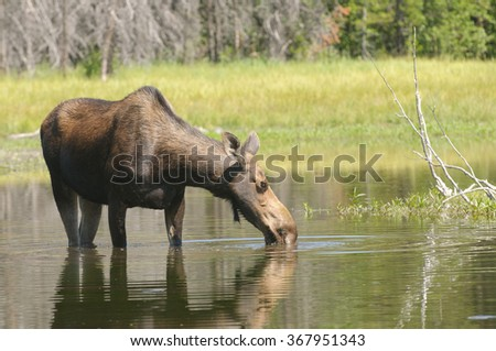 female Moose feeding in a pond in the Tetons - stock photo