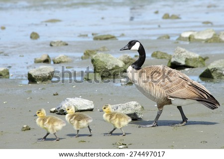 Female mother Canadian goose walking with her young goslings, showing them how to find food, goslings following mom - stock photo