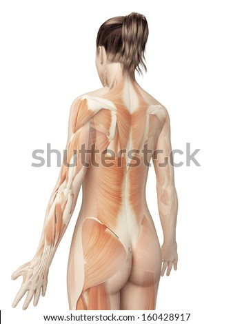 female muscular system from behind - stock photo