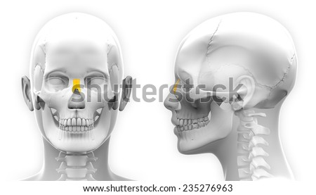 Female Nasal Bone Skull Anatomy - isolated on white - stock photo