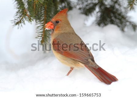 Female Northern Cardinal (cardinalis cardinalis) by a Spruce branch covered with snow - stock photo