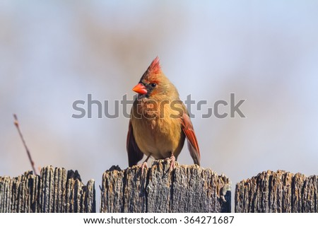Female Northern Cardinal (Cardinalis cardinalis) perched on rustic wooden fence with blue sky background. - stock photo