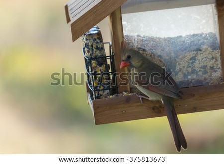 Female Northern Cardinal (Cardinalis cardinalis) with raised crest and curious expression as if alarmed. Selective focus and shallow dof. - stock photo