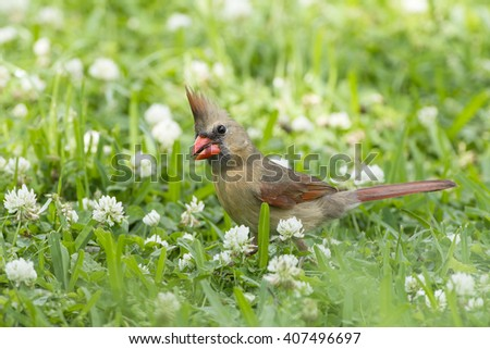Female Northern Cardinal in Clover  - stock photo
