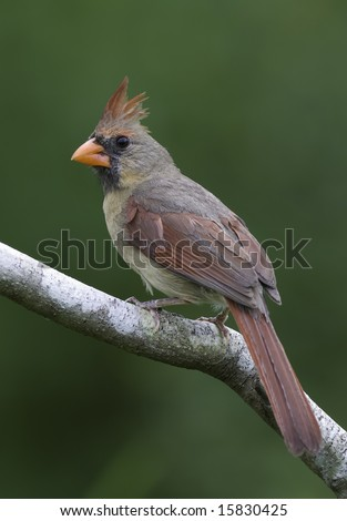 Female Northern Cardinal perched on a branch. - stock photo