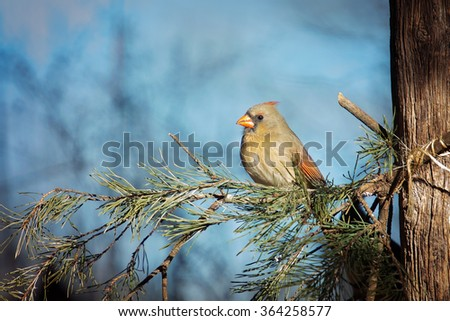 Female Northern Cardinal sitting on evergreen branches with blue sky in background.  - stock photo
