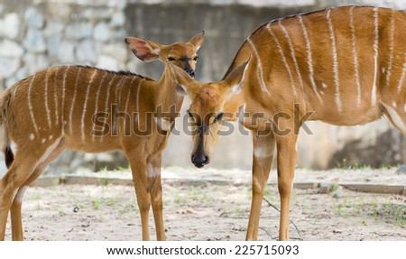 Female nyala mother protect young nyala from dangerous - stock photo