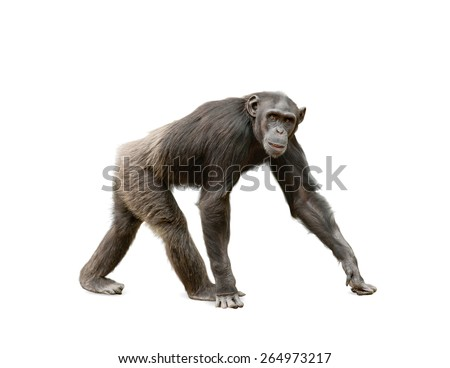 Female of ape chimpanzee looking at camera, walking over a white background - stock photo