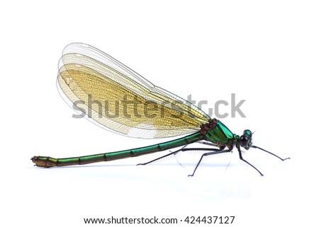 Female of Beautiful demoiselle (Calopteryx virgo) isolated on white background - stock photo