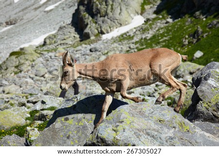 Female of Caucasus tur running through stones - stock photo